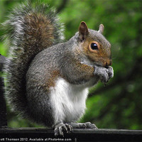 Buy canvas prints of Squirrel by Scott Thomson