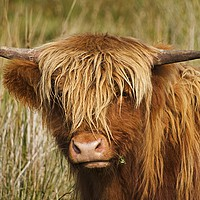 Buy canvas prints of Highland Cow by paula smith