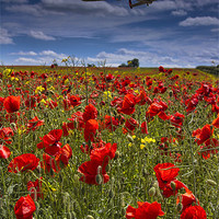 Buy canvas prints of Poppies by Martin Jones