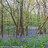 Buy canvas prints of Bluebell Wood by Nigel Bangert