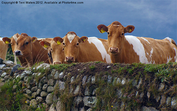 Moo-dy Blues Canvas print by Terri Waters