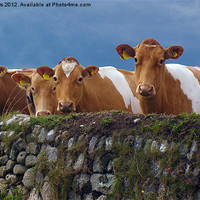 Buy canvas prints of Moo-dy Blues by Terri Waters