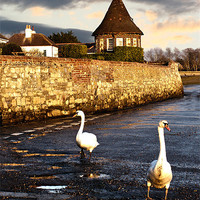 Buy canvas prints of Bosham Swans Out for a Stroll by Terri Waters