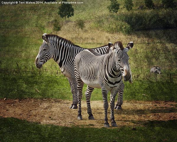 Grevy's Zebras Canvas print by Terri Waters