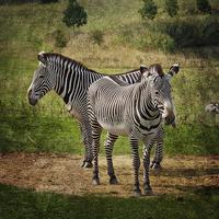 Buy canvas prints of  Grevy's Zebras by Terri Waters