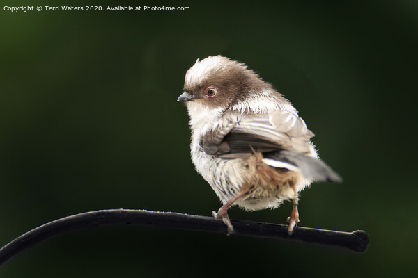 Long Tailed Tit Baby Print by Terri Waters