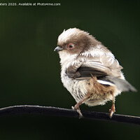Buy canvas prints of Long Tailed Tit Baby by Terri Waters