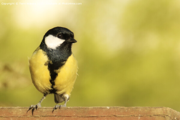 Great Tit on a Fence Print by Terri Waters