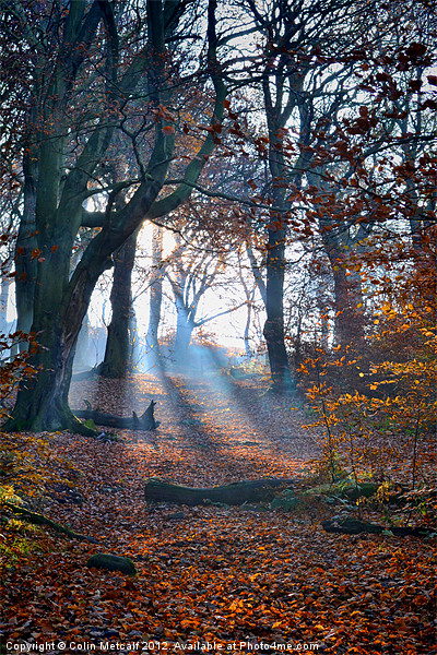 Chevin Forest Park #2 Canvas print by Colin Metcalf