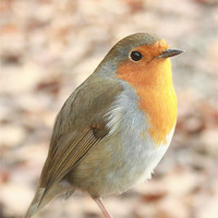 Buy canvas prints of Robin redbreast by linsey williams canvas and prints