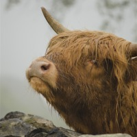 Buy canvas prints of Highland Beast by linsey williams canvas and prints