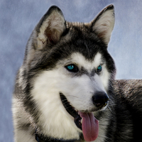 Buy canvas prints of Siberian Husky by linsey williams canvas and prints