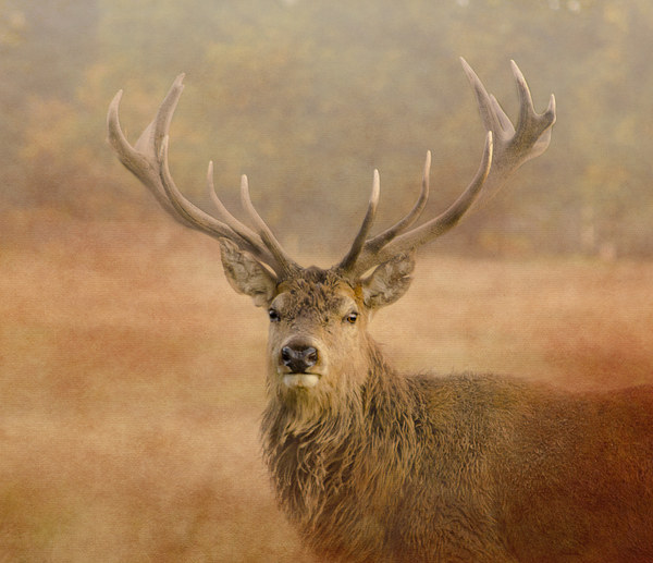 Red Deer Stag  Canvas print by linsey williams canvas and prints