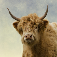 Buy canvas prints of Hairy Highlander by linsey williams canvas and prints
