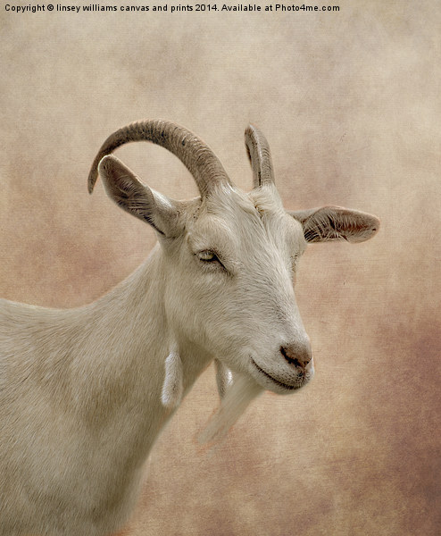 GOAT Canvas print by linsey williams canvas and prints