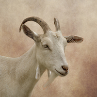 Buy canvas prints of GOAT by linsey williams canvas and prints