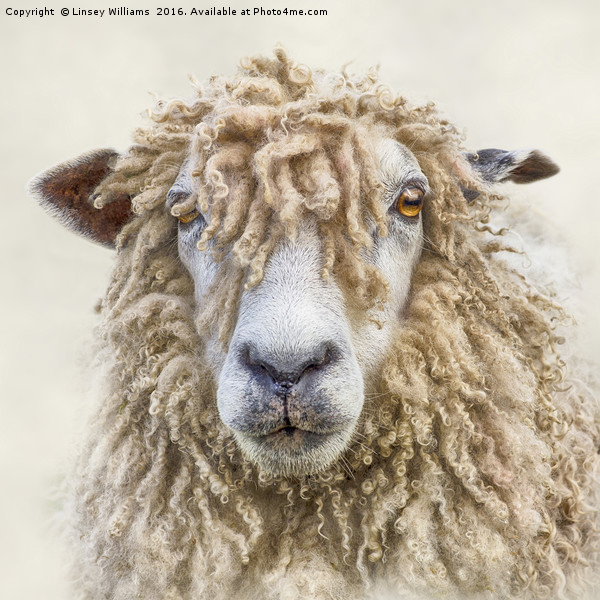 Leicester Longwool Sheep Canvas print by Linsey Williams