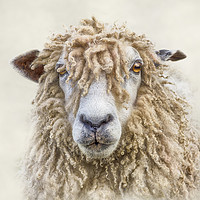 Buy canvas prints of Leicester Longwool Sheep by Linsey Williams