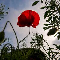 Buy canvas prints of  Poppy Memories by Iain Mavin