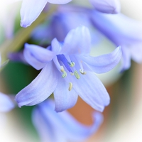 Buy canvas prints of Bluebell by Sharon Lisa Clarke