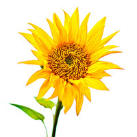 Buy canvas prints of Sunflower by Valerie Paterson