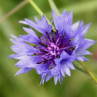 Buy canvas prints of Cornflower by julie williams