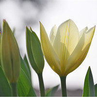 Buy canvas prints of white tulips by michelle rook