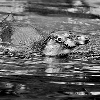 Buy canvas prints of penguin swimming by michelle rook