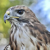 Buy canvas prints of Red Hawk stare by michelle rook