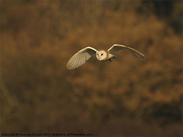 Barn Owl Canvas print by stephen durrant