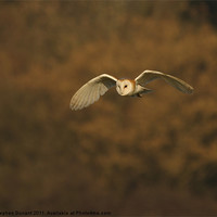Buy canvas prints of Barn Owl by stephen durrant