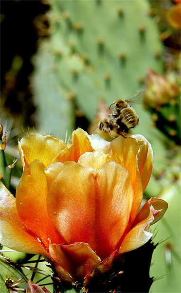 Cactus Flower Canvas print by Hamid Moham