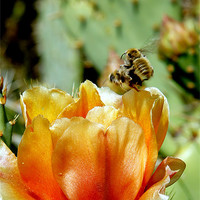 Buy canvas prints of Cactus Flower by Hamid Moham