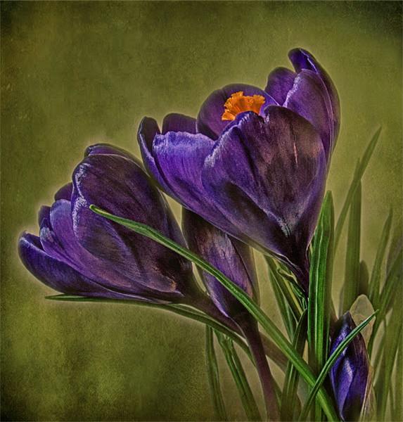 Canvas of Purple Crocus Canvas print by Debra Kelday
