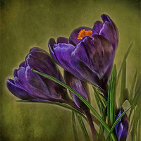 Buy canvas prints of Canvas of Purple Crocus by Debra Kelday