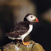 Buy canvas prints of Puffin on rock by Scottish Landscape and Wildlife Canvas Print