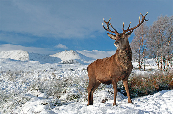 Deer Stag, Glencoe Canvas print by Scottish Landscape and Wildlife Canvas Print
