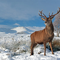 Buy canvas prints of Deer Stag, Glencoe by Scottish Landscape and Wildlife Canvas Print