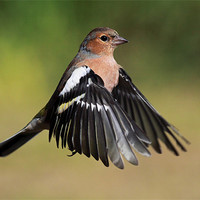 Buy canvas prints of Chaffinch in flight by Scottish Landscape and Wildlife Canvas Print