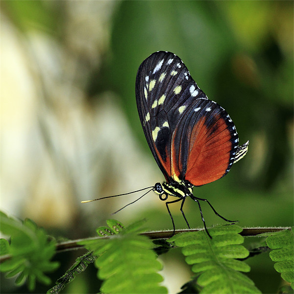 Tiger Longwing Butterfly Canvas print by Scottish Landscape and Wildlife Canvas Print