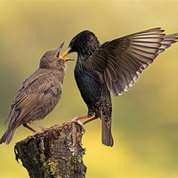 Buy canvas prints of Starlings by Scottish Landscape and Wildlife Canvas Print