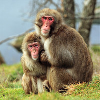 Buy canvas prints of Macaque Monkey portrait by Scottish Landscape and Wildlife Canvas Print