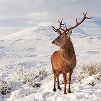 Buy canvas prints of Deer Stag in the snow by Scottish Landscape and Wildlife Canvas Print