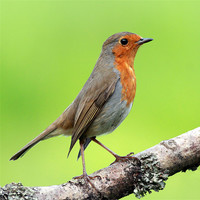Buy canvas prints of Robin by Scottish Landscape and Wildlife Canvas Print