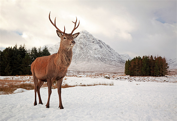 Deer Stag Canvas print by Scottish Landscape and Wildlife Canvas Print