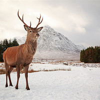 Buy canvas prints of Deer Stag by Scottish Landscape and Wildlife Canvas Print