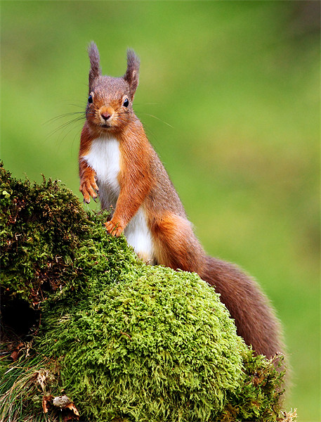 Red Squirrel Canvas Print by Scottish Landscape and Wildlife Canvas Print