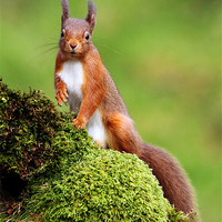 Buy canvas prints of Red Squirrel by Scottish Landscape and Wildlife Canvas Print