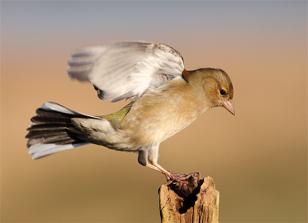 Chaffinch Canvas Print by Scottish Landscape and Wildlife Canvas Print