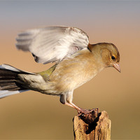 Buy canvas prints of Chaffinch by Scottish Landscape and Wildlife Canvas Print